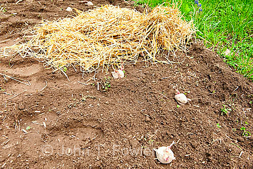 Potatoes planted under straw