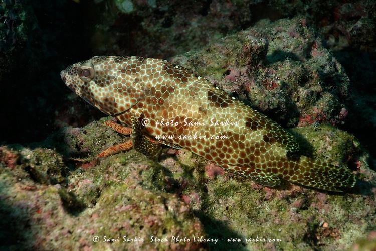 Brown patterned Greasy Grouper (Epinephelus tauvina) swims over a seabed, Fushi Faru, Faadhippolhu, Maldives.