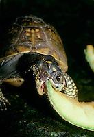 Turtle eating cantaloupe