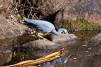 White-Faced Heron, Cairns, Queensland, Australia