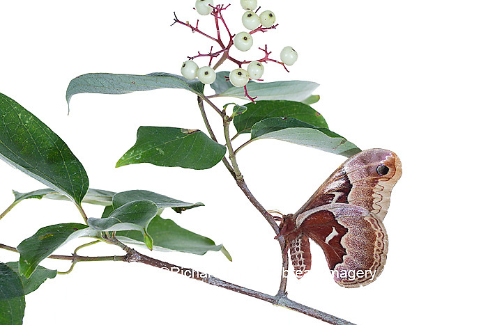 30040-00304 Promethea Moth (Callosamia promethea) female on Gray Dogwood (Cornus racemosa) on white background, Marion