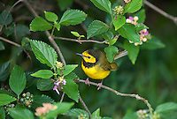 591920025 a wild male hooded warbler wilsonia citrina songbird perches on a small limb on south padre island cameron county texas united states