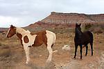 horses in Springdale