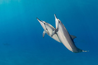 a pair of spinner dolphins, Stenella longirostris, glide over the sand at Ho'okena, Hawaii ( Central Pacific Ocean )