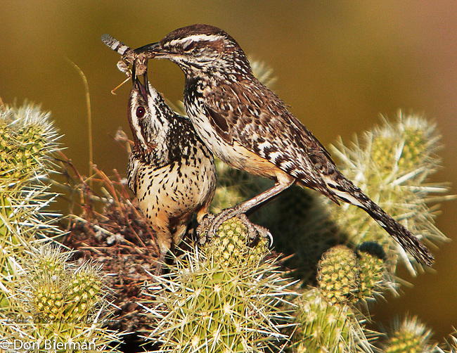 Ringtail trail off 128th St. Nesting Cactus Wrens.