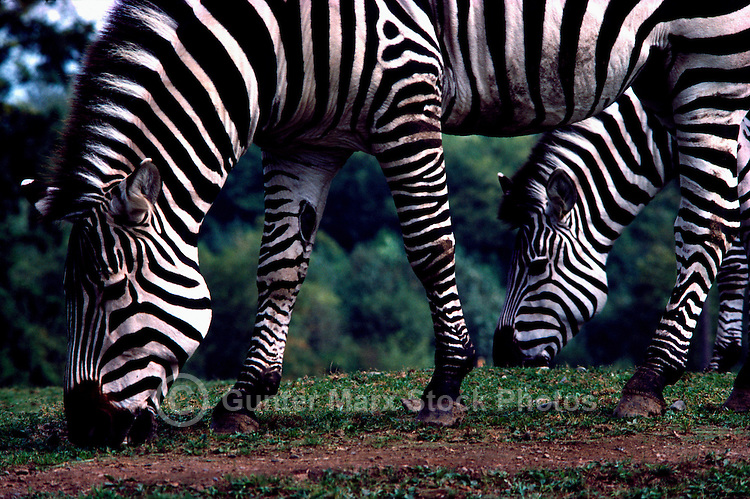 Plains Zebras (Equus quagga, formerly Equus burchelli) aka Common Zebra or Burchell's Zebra - grazing