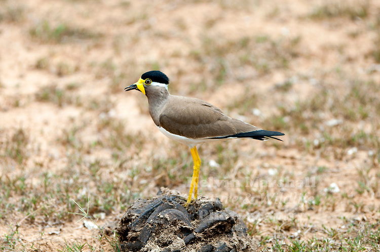 Yellow-wattled lapwing (Vanellus malabaricus) is a lapwing that is endemic to the Indian Subcontinent. It is found mainly on the dry plains of peninsular India and has a sharp call and is capable of fast flight. Although they do not migrate, they are known to make seasonal movements in response to rains. They are dull grey brown with a black cap, yellow legs and a triangular wattle at the base of the beak. Like other lapwings and plovers, they are ground birds and their nest is a mere collection of tiny pebbles within which their well camouflaged eggs are laid. The chicks are nidifugous, leaving the nest shortly after hatching and following their parents to forage for food. Bundala National Park - Sri Lanka.