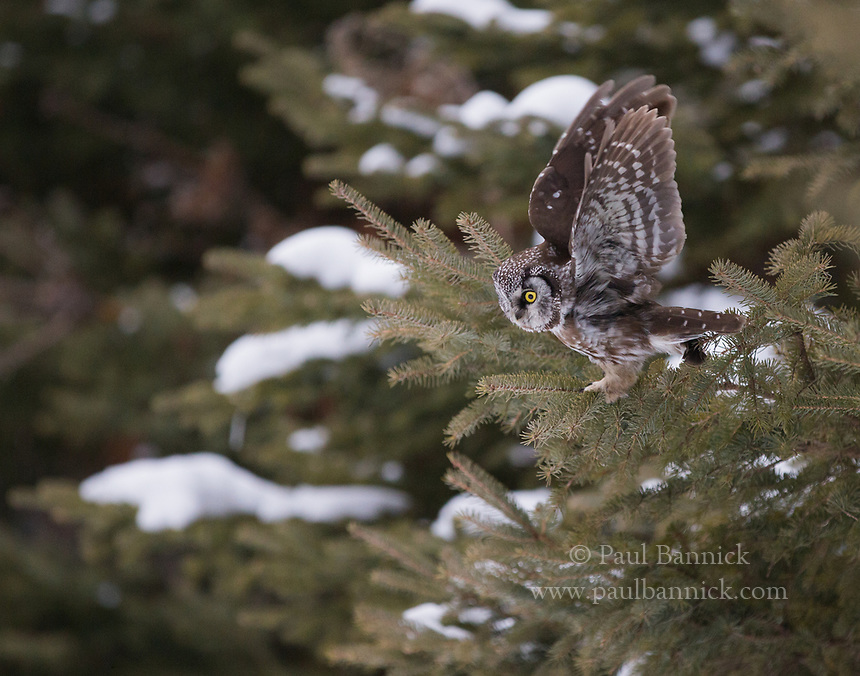 A Boreal Owl lifts his wings an instant before taking flight in pursuit of prey. (Alaska)