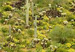 Spring desert landscape, Sonoran Desert, Arizona