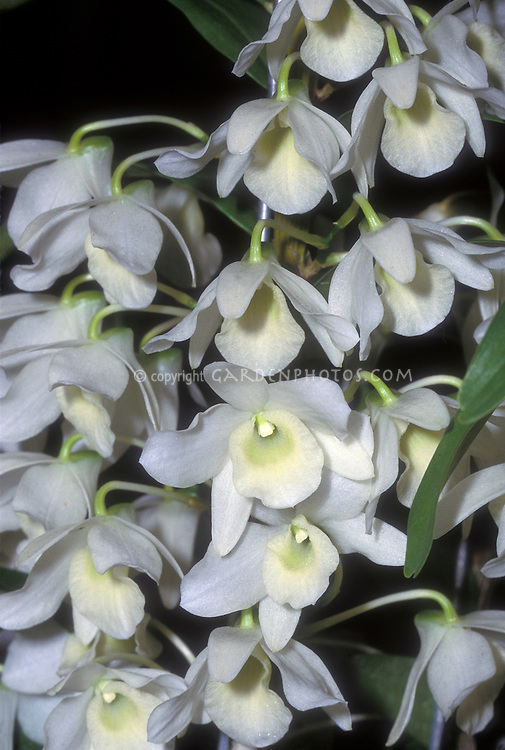 Dendrobium Sachi 'Hamana' (Nobile type) white flowered Orchid hybrid
