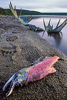 Brown bear tracks, moose antlers, red salmon along the shore of Naknek Lake, Katmai National Park, Alaska