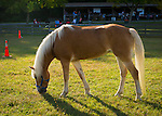 Old Bethpage, New York, USA. September 28, 2014. A Palomino horse grazes on grass as dusk approaches at the 172nd Long Island Fair, a six-day fall county fair held late September and early October. A yearly event since 1842, the old-time festival is now held at a reconstructed fairground at Old Bethpage Village Restoration. The Palomino has a gold coat and white mane and tail.