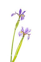 30099-00504 Blue Flag Irises (Iris versicolor) (high key white background) Marion Co. IL