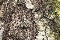 Pappel-Dickleibspanner, Pappeldickleibspanner, Pappelspanner, perfekte Tarnung auf Rinde, Biston strataria, oak beauty, Oak beauty moth, la Marbrée, Phalène marbrée, Biston marbré, Spanner, Geometridae, looper, loopers, geometer moths, geometer moth