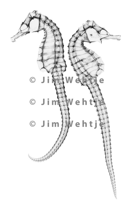 X-ray image of a seahorse pair (black on white) by Jim Wehtje, specialist in x-ray art and design images.