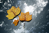 Stock photo: Three maple leaves in fall fallen on the bonnet of a silver car with the reflection of trees canopy above.