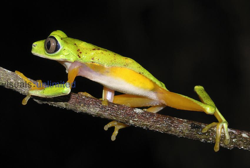Lemur Leaf Frog (Phyllomedusa lemur), Siquirres, Costa Rica