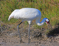 Adult whooping crane swallowing crab