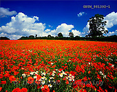 Tom Mackie, FLOWERS, photos, Field of Poppies & Corn Daisies, Near Norwich, Norfolk, England, GBTM881392-1,#F# Garten, jardín