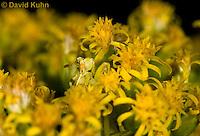 "1210-0901  Camouflaged Ambush Bug Adult on Goldenrod, Phymata spp. ""Virginia""  © David Kuhn/Dwight Kuhn Photography"
