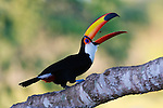 Toco toucans are the most recognizable and widespread of all toucan species, in particular because of their large, orange bill.  They are omnivores and eat everything from seeds and fruit to frogs and small reptiles.