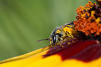 Solitary bees are important pollinators, and pollen is gathered for provisioning the nest with food for their brood.<br /> Plains Coreopsis wildflower.