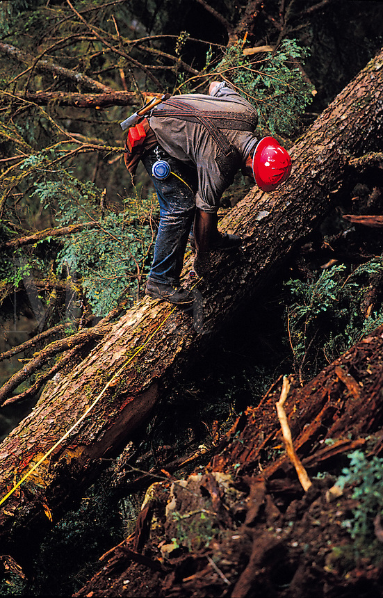 A logger in a hard hat climbs on the trunk of a tree. Alaska.