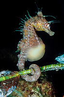 short-snouted seahorse, Hippocampus breviceps, pregnant male, showing prehensile tail, Australia (c)