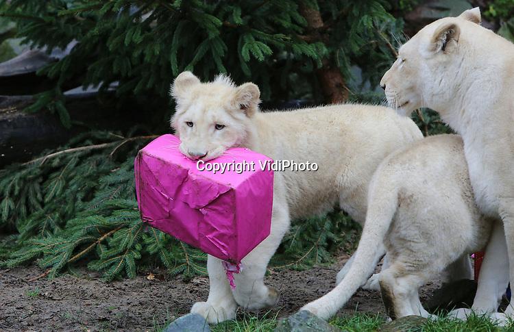 Foto: VidiPhoto<br /> <br /> RHENEN - Witte leeuwenkerst. Een bijzondere verrassing voor de witte leeuwen van Ouwehands Dierenpark donderdag. Toen de roofdieren hun buitenverblijf betraden, stond daar een heuse kerstboom met kerstcadeaus op hen te wachten. In eerste instantie was er meer belangstelling voor de boom dan voor de cadeaus, maar uiteindelijk werden ook die 'uitgepakt'. Topstuk was een echte leeuwenrammelaar die het jachtinstinct van de leeuwen moet stimuleren. Het aanbieden van voedsel of speelobjecten op deze wijze is een vorm van gedragsverrijking om zoveel mogelijk natuurlijk gedrag van de dieren te bevorderen.