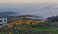 Fine art landscape nature scene of view of blanket of fog covering Drake's Bay, viewed from Point Reyes Hill at dawn, with the end of a white fence entering the frame from the left, and tips of green hills showing through the fog, with a bush of blue cyanothus on right.