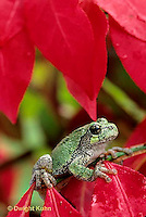 FR15-035d  Gray Tree Frog - Hyla versicolor