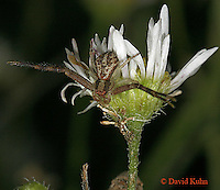 0903-06rr Crab spider - Thomisidae Genus - © David Kuhn/Dwight Kuhn Photography