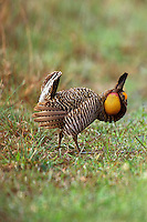 Male Attwater's Prairie Chicken spring mating display at Attwater Prairie Chicken National Wildlife Refuge, Texas.  Very Endangered.