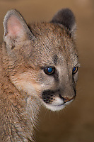 656320005 a captive wildlife rescue mountain lion cub female zuni felis concolor at the wildlife waystation wildlife recovery and care facility in southern california