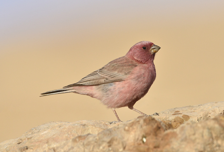 Sinai Rosefinch - Carpodacus synoicus - male