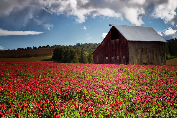 Old Oregon barn in field of red clover