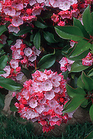 Kalmia latifolia 'Raspberry Glow' shrub in pink flower and red buds in spring