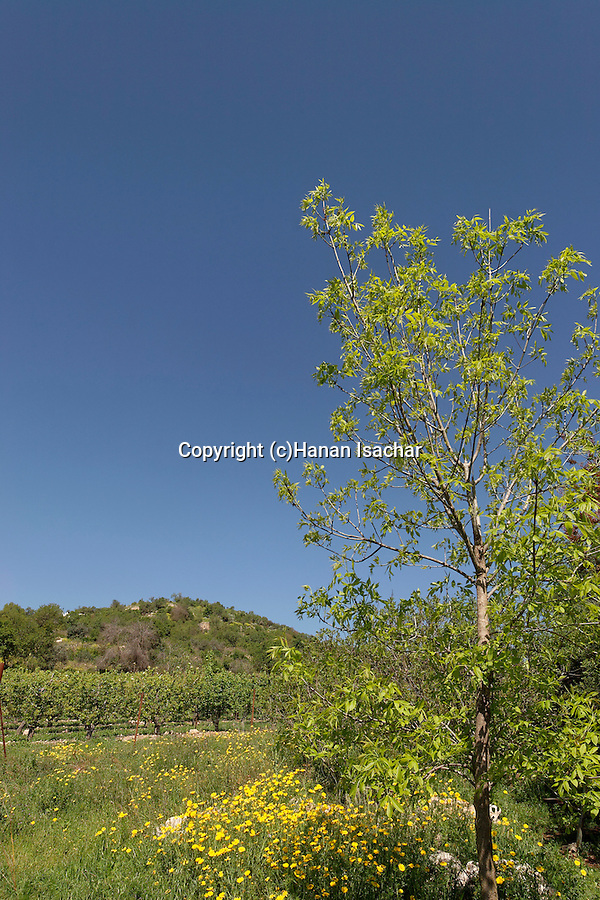 Israel, Jerusalem Mountains. Vineyard at the foothill of Mount Tzuba