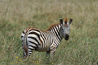 Burchell's or Plains Zebra (Equus burchelli) Serengeti National Park, Tanzania.