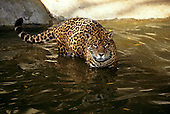 "Amazon, Brazil. Jaguar - ""Onca pintada""; Panthera onca, wading in water."