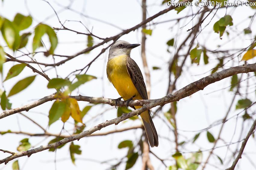 Tropical Kingbird, Sayaxche, Guatemala
