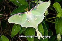 04000-002.16 Luna Moth (Actias luna) on Carnaby Clematis (Clematis sp) Marion Co. IL