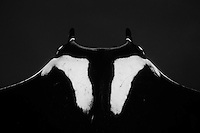 RM0233-Dbw. Manta Ray (Manta birostris), view from above looking down onto dorsal suface behind head. Some call this the &quot;chevron&quot; manta because of the white markings.  Baja, Mexico, Pacific Ocean. Color photo converted to black and white.<br /> Photo Copyright &copy; Brandon Cole. All rights reserved worldwide.  www.brandoncole.com