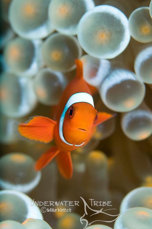 Spinecheek anemonefish, Premnas biaculeatus, Raja Ampat, West Papua, Indonesia, Pacific Ocean