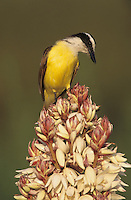 Great Kiskadee, Pitangus sulphuratus, adult on blooming Trecul Yucca (Yucca treculeana), Lake Corpus Christi, Texas, USA