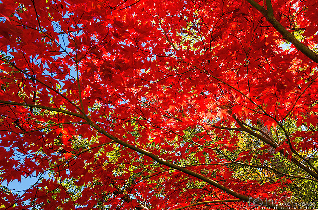 Red Maple leaves in Katoomba, NSW, Australia