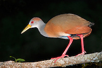 Gray-necked Wood Rail, Belize