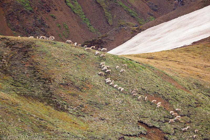Herd of caribou on mountain hillside in Denali National Park, Alaska.
