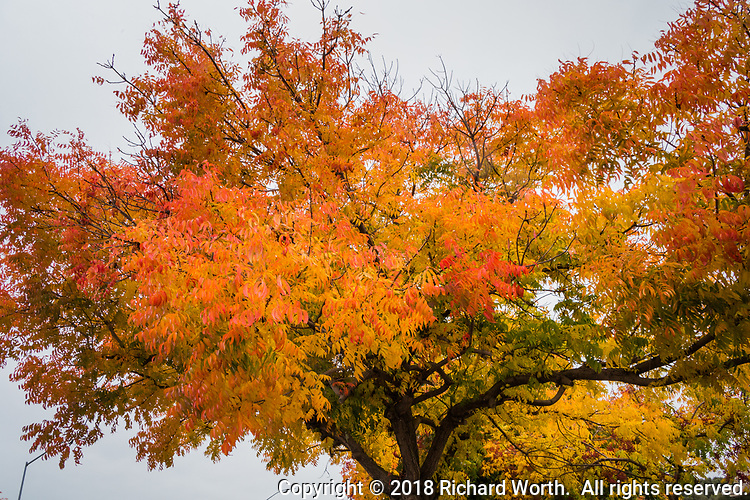 An explosion of fall colors, yellow and orange and waning green - a tree in a drug store parking lot brings autumn to the neighborhood.  Castro Valley, California.