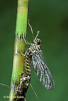 1E06-001b   Mayfly - Subimago adult emerging from nymph skin - Siphlonurus spp.